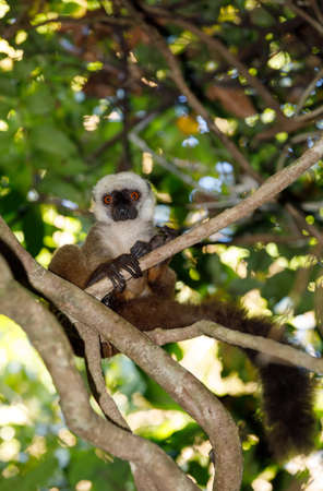 Male of white-headed lemur (Eulemur albifrons) on branch in Madagascar rainforest. Nosy Mangabe forest reserve. Madagascar wildlife and wilderness