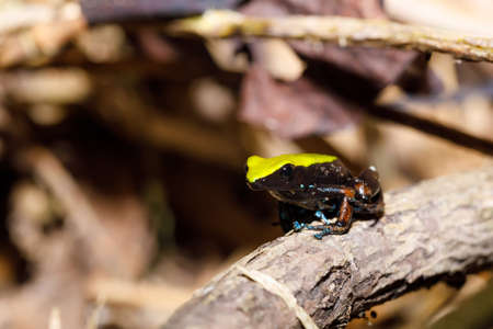 Beautifull endemic frog Climbing Mantella (Mantella laevigata), species of small frog in the Mantellidae family. Nosy Mangabe, Madagascar wildlife and wilderness