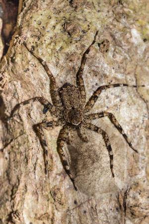 heteropodidae: huntsman spider on tree trunk. Family Sparassidae (formerly Heteropodidae). Nosy Mangabe National park, Toamasina province, Madagascar wildlife and wilderness Stock Photo