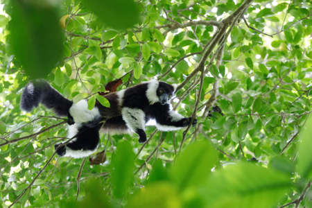 nosy: Black-and-white ruffed lemur (Varecia variegata subcincta) in natural rainforest habitat, Nosy Mangabe forest reserve. Madagascar wildlife and wilderness