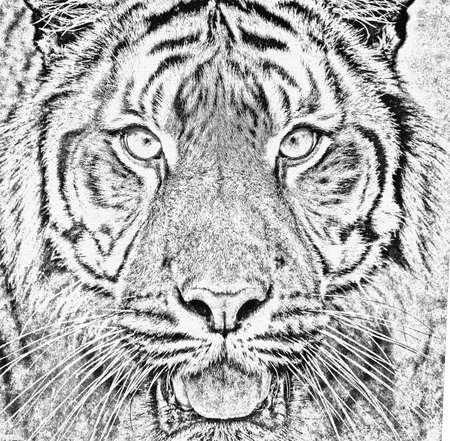 sumatran tiger: black and white portrait of sumatran tiger (Panthera tigris sumatrae) in abstract color