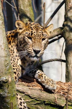 Cejlon Sri Lankan leopard (Panthera pardus kotiya), Sri Lankan leopard was listed as Endangered on the IUCN Red List