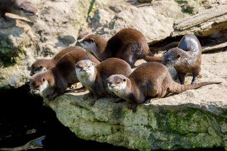 playful family of river otter, wildlife Czech republic