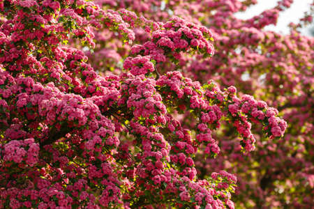 Pink flowers hawthorn tree - (Crataegus laevigata)Spring natural background, flowering tree in pink. Springtime season Stock Photo