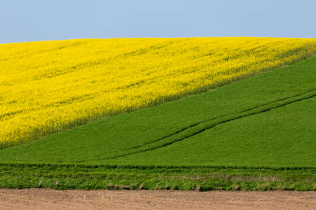 Yellow and green spring field, Springtime rural countryside scene