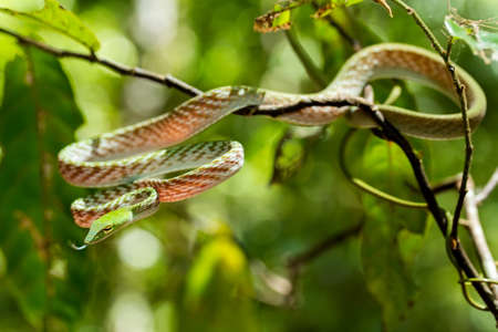 Oriental Whipsnake, Asian Vine green Snake (Ahaetulla prasina) Tangkoko Nature Reserve in North Sulawesi, Indonesia wildlife Stock Photo