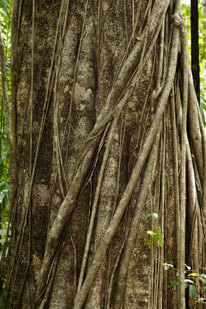 wallace: Massive tree is buttressed by roots within Tangkoko National Park in North Sulawesi, Indonesia. This park is home to Black macaques and Tarsiers.