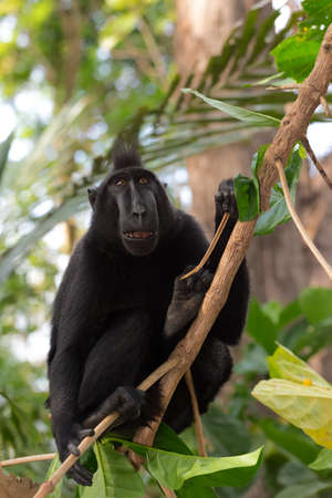 Endemic monkey Celebes crested macaque known as black monkey on tree in in rainforest, Tangkoko Nature Reserve in North Sulawesi, Indonesia wildlife
