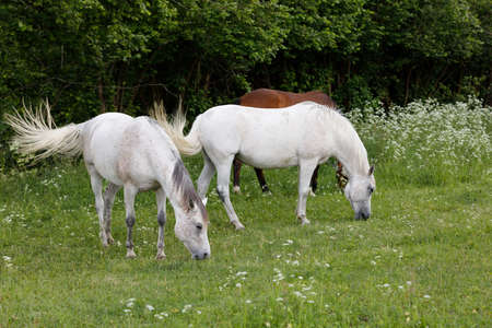 two beautiful health white horse grazing in a spring grass meadow pasture in evening