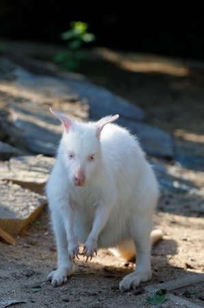 grazing white albino kangaroo cute Red necked Wallaby Stock Photo