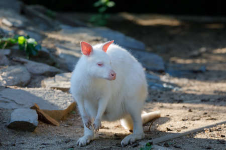 grazing white albino kangaroo cute Red necked Wallaby Stock Photo