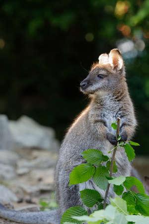 Red necked Wallaby kangaroo baby graze (Macropus rufogriseus) Stock Photo