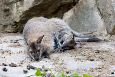 female of kangaroo with small baby in bag, cute Red necked Wallaby