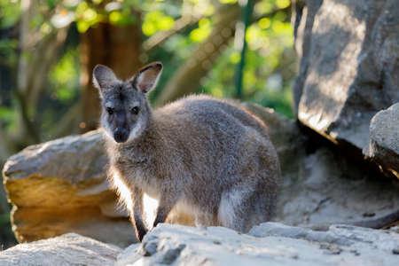 Red-necked Wallaby kangaroo baby on rock (Macropus rufogriseus)