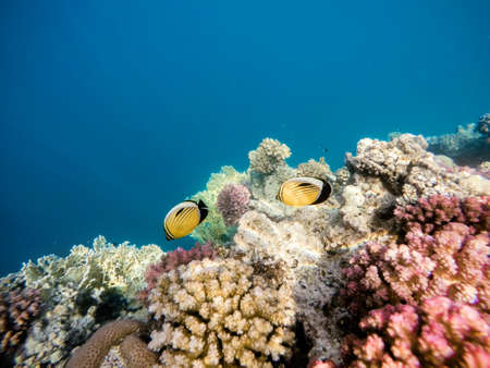 beautiful colorful coral garden with Blacktail butterflyfish in red sea, Marsa Alam, Egypt