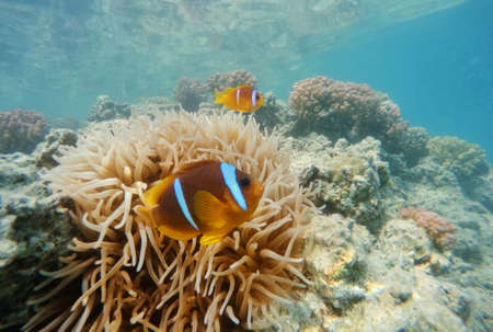 clown fish (Amphiprion bicinctus or two-banded anemone fish) near sea anemone to protects the clownfish from predators. Red sea, marsa Alam, Egypt Stock Photo