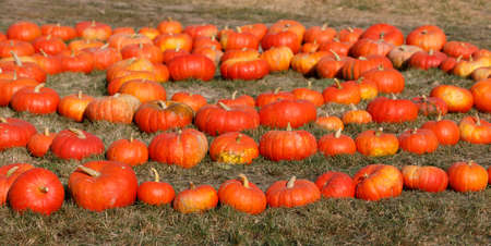 Autumn Halloween decoration on farm. Various type and color of pumpkins as collection arranged on ground as ornament pleasing fall outdoor still life in autumn garden