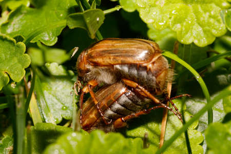 Common Cockchafer (Melolontha melolontha), known as a May bug or Doodlebug. European beetle pest in Summer