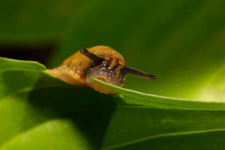 macro of small garden slug eating green leaves