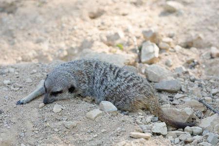 resting small meerkat or suricate (Suricata suricatta) in very hot day