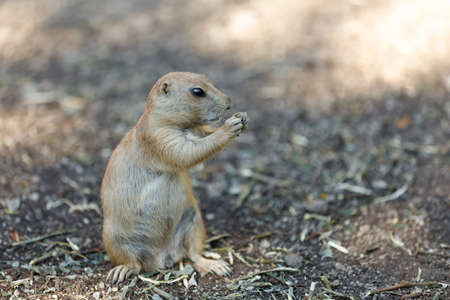 Black-tailed prairie dogs (Cynomys ludovicianus), rodent of the family Sciuridae found in the Great Plains of North America
