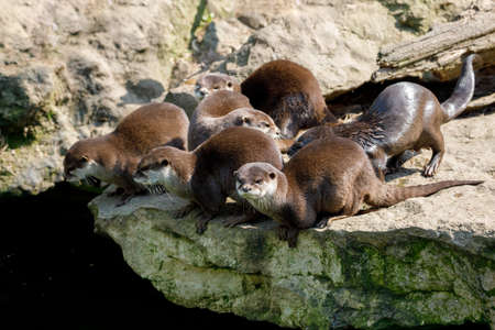 family of playful river otter, wildlife Czech republic
