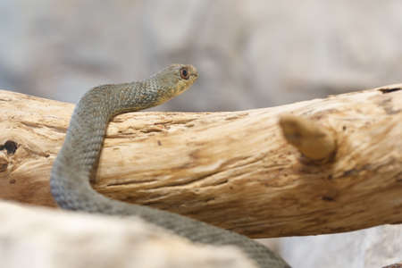 Montpellier snake (Malpolon insignitus), is a species of mildly venomous rear-fanged colubrids