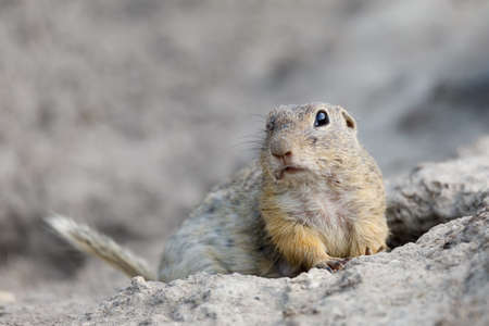 prairie: European ground squirrel (Spermophilus citellus), also known as the European souslik, species from the squirrel family Stock Photo