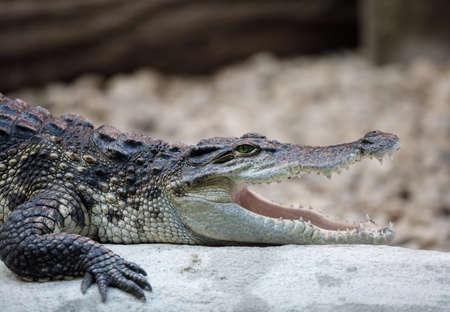 Portrait of a Nile Crocodile Crocodylus niloticus, Victoria Falls Фото со стока