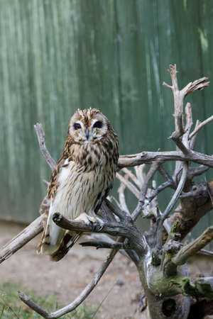 big bird short-eared owl (Asio flammeus)perched on dryed twig Stock Photo