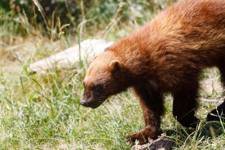 Wolverine (Gulo gulo) también se refiere como el glotón, carcajou, oso skunk o quickhatch. Carnívoro, más parecido a un oso pequeño.