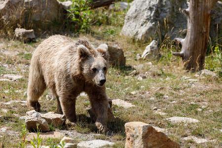 ヒマラヤ ヒグマ (Ursus arctos isabellinus)、ヒマラヤ赤クマ、イサベル熊、もしかすると話したとも呼ばれます。時々 混乱したり、イエティと誤解 写真素材
