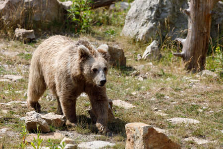 Himalayan brown bear (Ursus arctos isabellinus), also known as the Himalayan red bear, Isabelline bear or Dzu-Teh. Sometimes confused or mistaken with Yeti Stock Photo