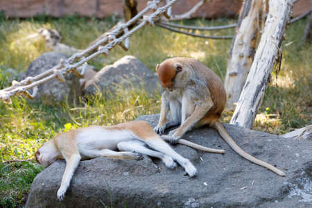 patas monkey (Erythrocebus patas), known as the wadi or hussar monkey Stock Photo