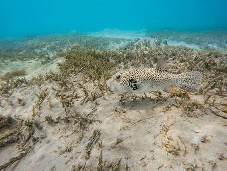 Stellate puffer fish (Arothron stellatus), starry puffer,Marsa Alam, Egypt