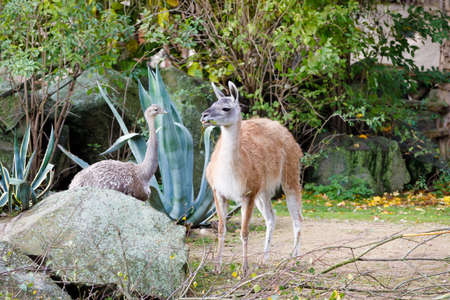 guanaco (Lama guanicoe) with greater rhea (Rhea americana) Stock Photo