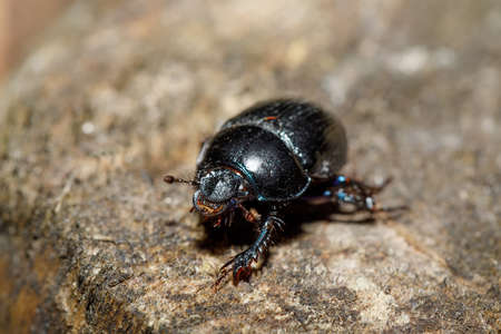 Black Earth-boring dung dor beetle, Anoprotrupes stercorosus, portrait on stump at pine forest, macro Stock Photo