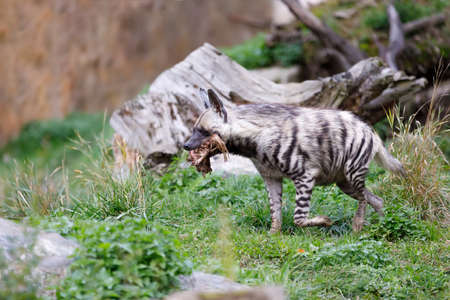hienas: Striped hyena (Hyaena hyaena) with broad head and dark eyes. Walk with prey in mouth.