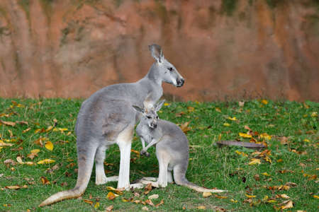 Red kangaroo, Megaleia rufa, one of the biggest kangaroo with small baby out of bag