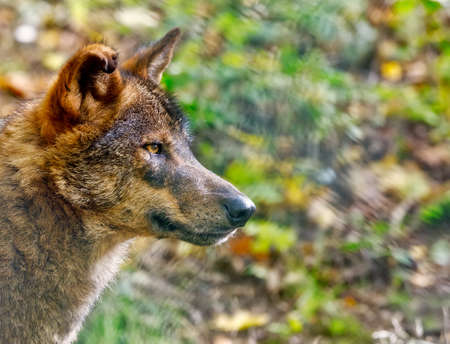 Iberian wolf (Canis lupus signatus)inhabits the forest and plains in Spain and Portugal