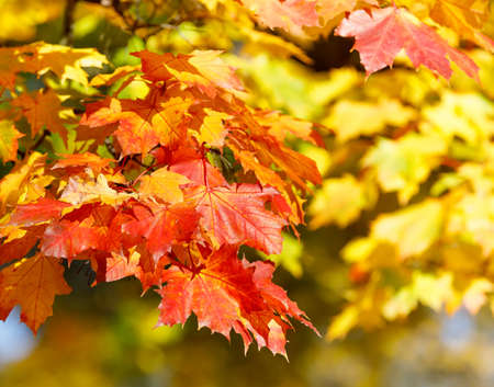 specific: Orange and red autumn leaves background with shallow focus. Fall season specific. Stock Photo