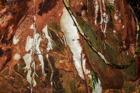 colored roots in Madagascar rainforest, Nosy Mangabe, Madagascar wilderness