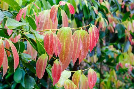 계 피 나무 (Cinnamomum zeylanicum), 계 피 향신료의 소스에 신선한 빨간 단풍. Masoala 숲 국립 공원,마다 가스 카 르 광 야