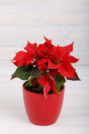 Live christmas flower red Poinsettia in the pot on white retro vintage background Stock Photo