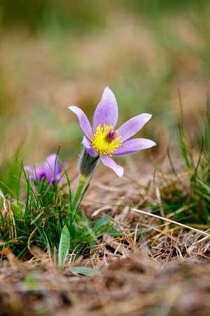 Early spring beautiful blue flowers pulsatilla pratensis small early spring beautiful blue flowers pulsatilla pratensis small pasque flower stock photo 94519155 mightylinksfo