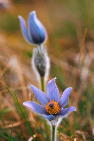 Early spring beautiful blue flowers pulsatilla pratensis small early spring beautiful blue flowers pulsatilla pratensis small pasque flower stock photo 94815191 mightylinksfo