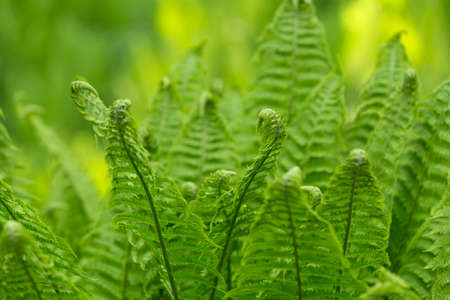 Young green fern leaves, twisted into a spiral of growing on the lawn in the courtyard