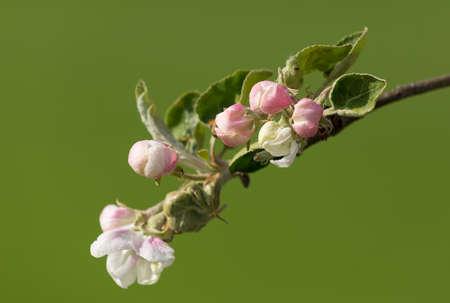 Blooming flowering apple tree in spring against green field. Spring scene in sunny day