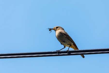 Black redstart with insect in beak, common european bird, wildlife Reklamní fotografie