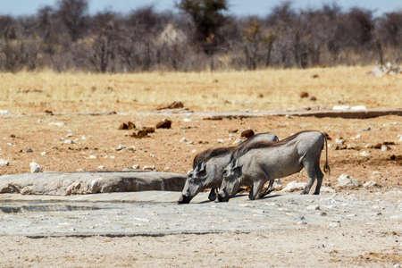 African pig Warthog, Etosha national park, Namibia, wildlife